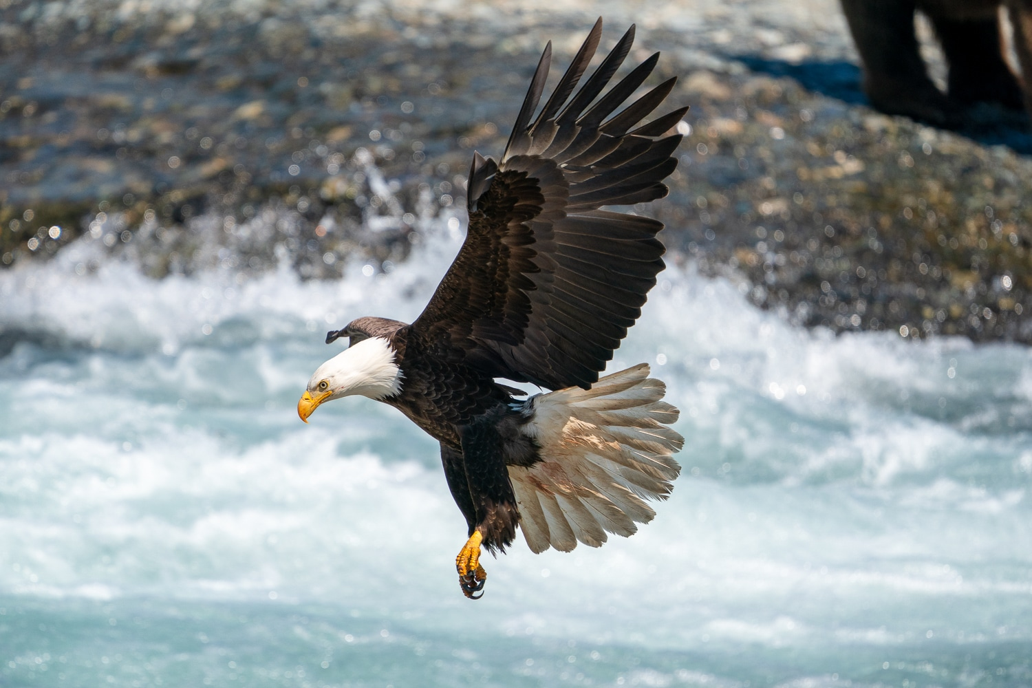 Bald Eagle in Flight Fishing at McNeil River taken with Sony a9 w/ 200-600 Lens