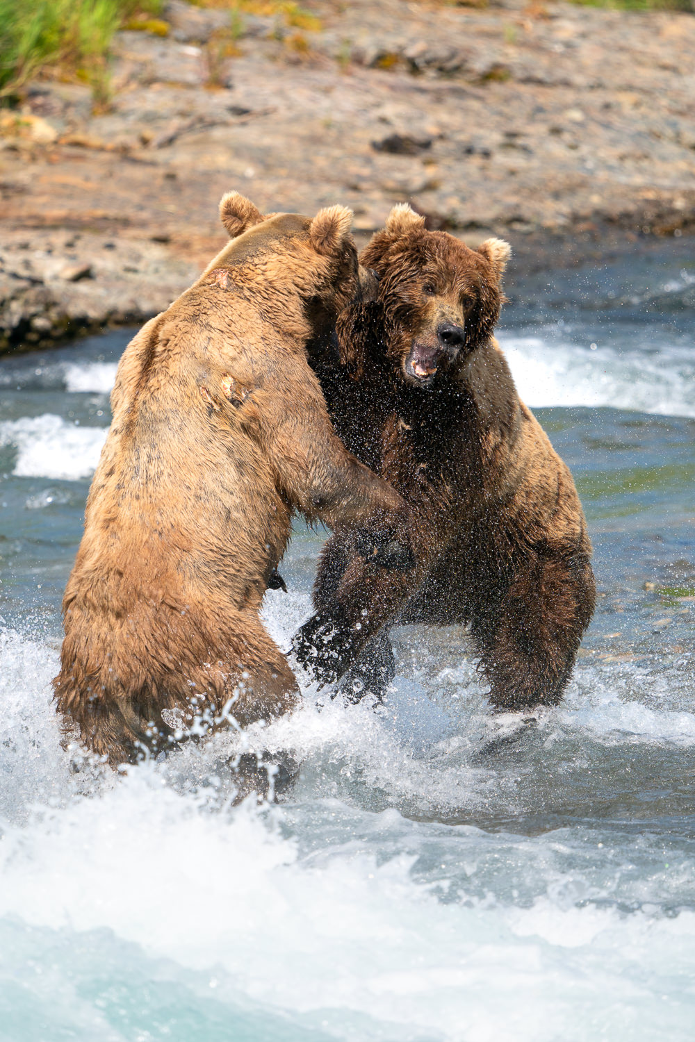 Bears Fighting at McNeil River in Alaska Taken with Sony a9 w/ 200-600 f/5.6-6.3 FE lens